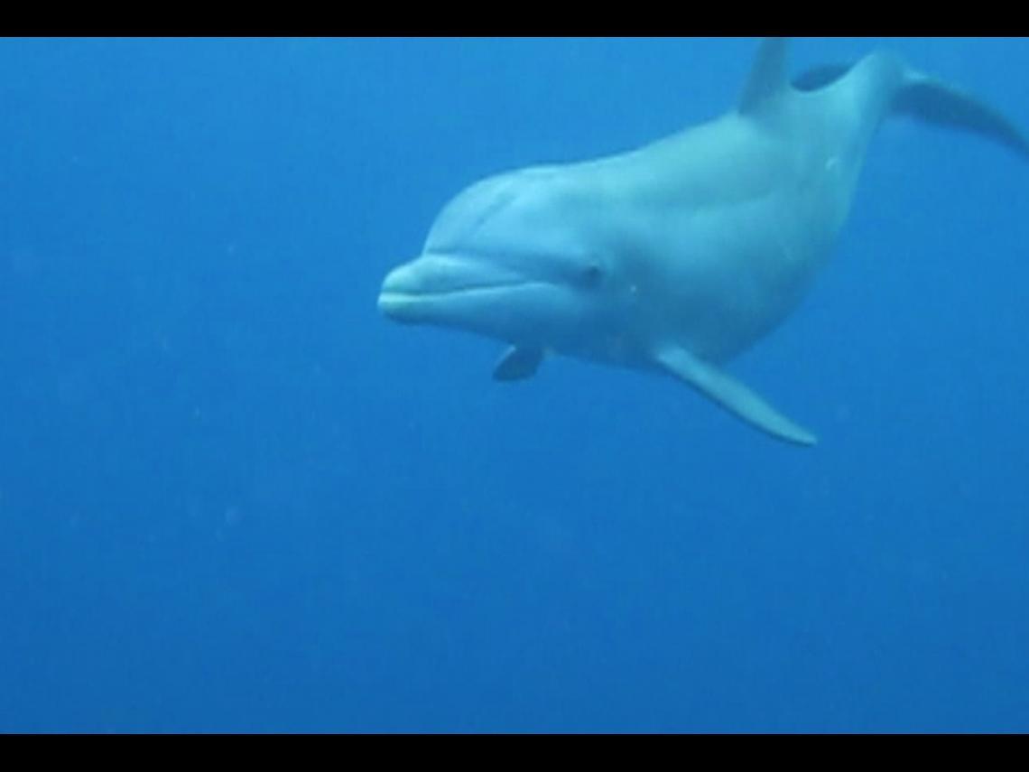 dauphin venu voir les nageurs aux Saintes