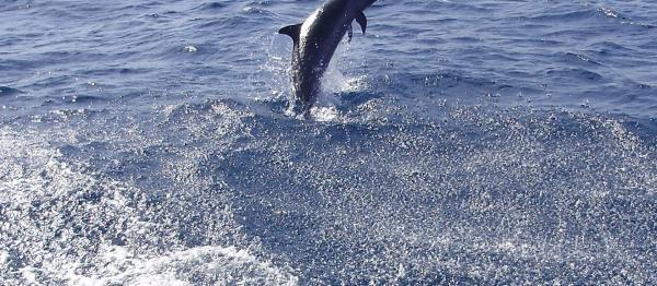 Un dauphin dans la baie de Saint-Pierre, Martinique