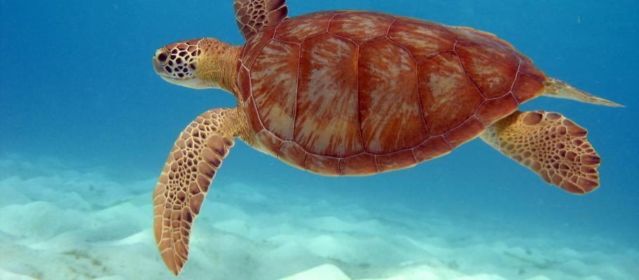 Tortue de mer, Tobagos Cays, Îles Grenadines