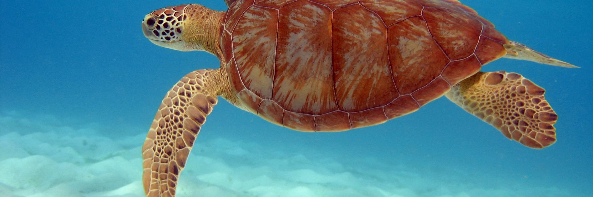 Sea turtle, Tobago Cays, The Grenadines